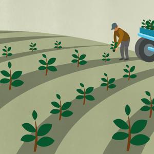 Illustration de la plantation des plants en plein champs